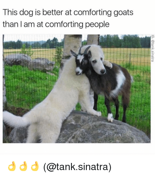 Memes, 🤖, and Dog: This dog is better at comforting goats  than I am at comforting people 👌👌👌 (@tank.sinatra)