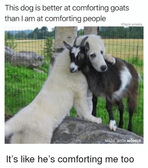 Funny, Dog, and Tank: This dog is better at comforting goats  than I am at comforting people  @tank.sinatra  MADE WITH MOMUS It's like he's comforting me too