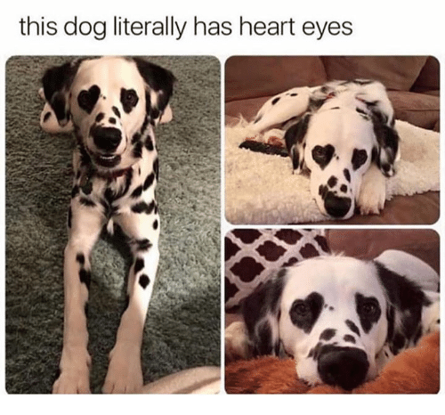 heart-eyes: this dog literally has heart eyes