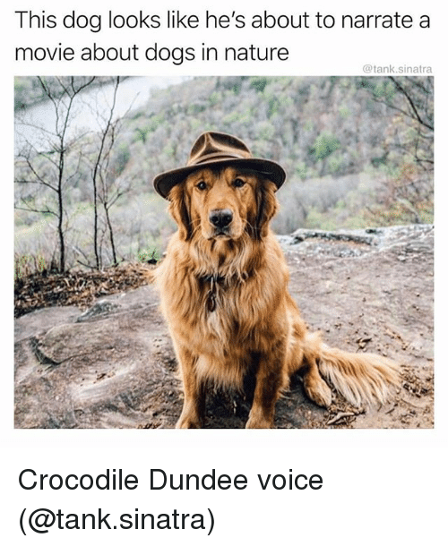 Narrate: This dog looks like he's about to narrate a  movie about dogs in nature  @tank.sinatra Crocodile Dundee voice (@tank.sinatra)