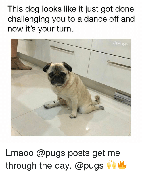 Memes, Pugs, and Dance: This dog looks like it just got done  challenging you to a dance off and  now it's your turn.  Pugs Lmaoo @pugs posts get me through the day. @pugs 🙌🔥