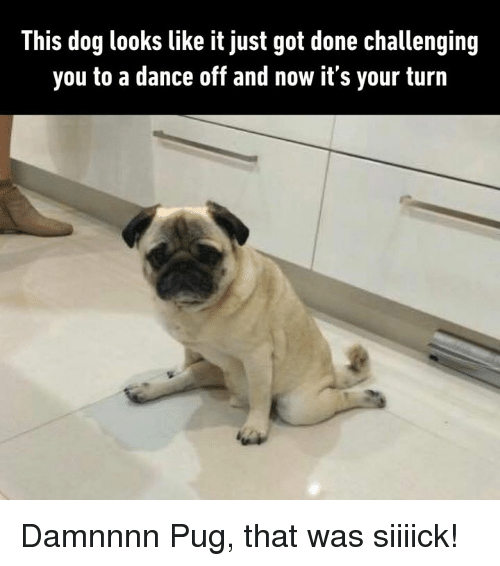 dance off: This dog looks like it just got done challenging  you to a dance off and now it's your turn Damnnnn Pug, that was siiiick!