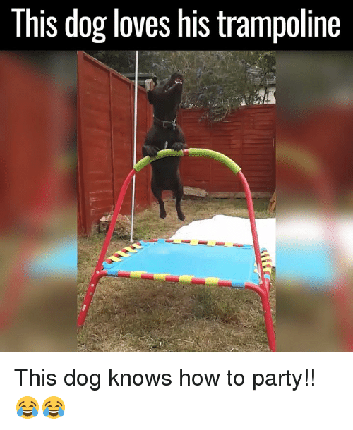 Funny: This dog loves his trampoline This dog knows how to party!! 😂😂