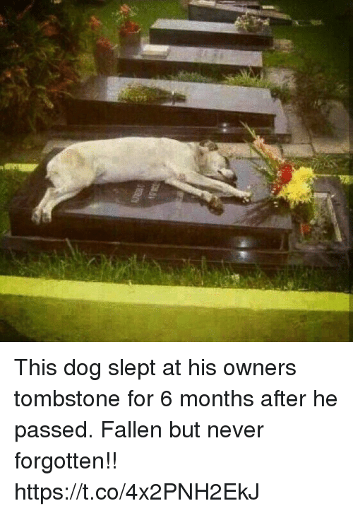 Memes, Never, and 🤖: This dog slept at his owners tombstone for 6 months after he passed. Fallen but never forgotten!! https://t.co/4x2PNH2EkJ