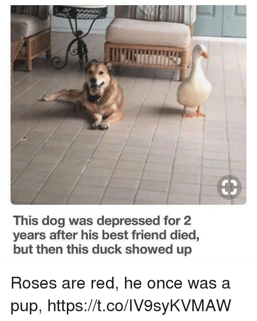 Best Friend, Memes, and Best: This dog was depressed for 2  years after his best friend died,  but then this duck showed up Roses are red, he once was a pup, https://t.co/IV9syKVMAW