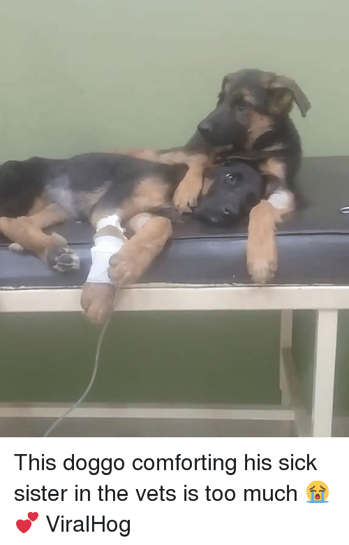 Too Much, Sick, and Doggo: This doggo comforting his sick sister in the vets is too much 😭💕  ViralHog