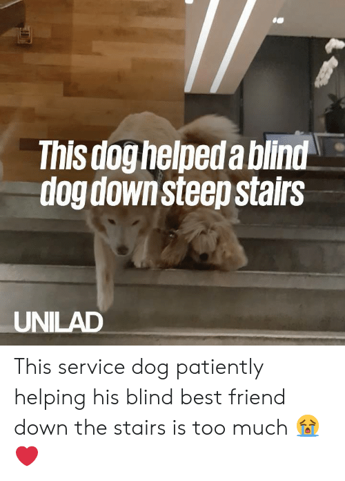 patiently: This doghelpeda bilnd  dog downsteep stairs  UNILAD This service dog patiently helping his blind best friend down the stairs is too much 😭❤️️