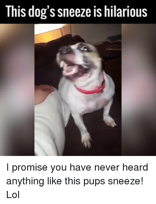 Memes, 🤖, and Sneezing: This dog's sneeze is hilarious I promise you have never heard anything like this pups sneeze! Lol