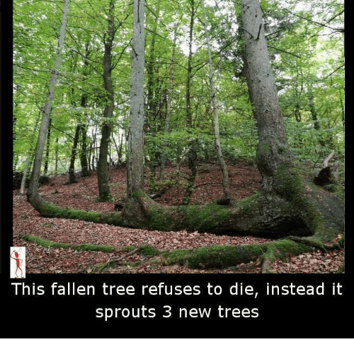 Memes, Sprouts, and 🤖: This fallen tree refuses to die, instead it  sprouts 3 new trees