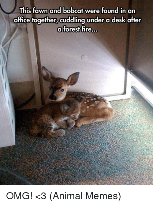bobcats: This fawn and bobcat were found in an  office together, cuddling under a desk after  a forest fire... OMG! <3 (Animal Memes)