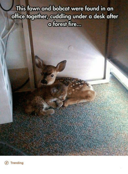 bobcats: This fawn and bobcat were found in an  office together, cuddling under a desk after  a forest fire...  O Trending