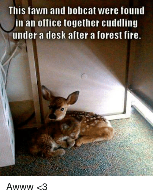 bobcats: This fawn and bobcat were found  in an office together cuddling  under a desk after a forest fire. Awww <3