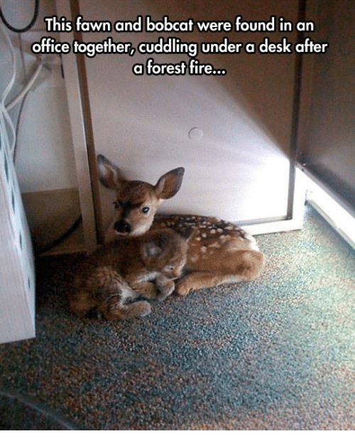 Bobcat: This fawn and bobcat were found in an  office together, cuddling under a desk after  a forest fire