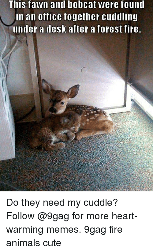 Bobcat: This fawn and bobcat were found  in an office together cuddling  under a desk after a forest fire. Do they need my cuddle? Follow @9gag for more heart-warming memes. 9gag fire animals cute