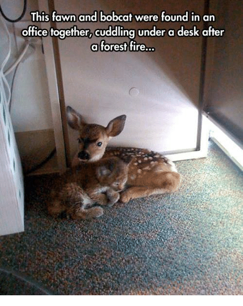 Bobcat: This fawn and bobcat were found in an  office together,  cuddling under a desk after  a forest fire.