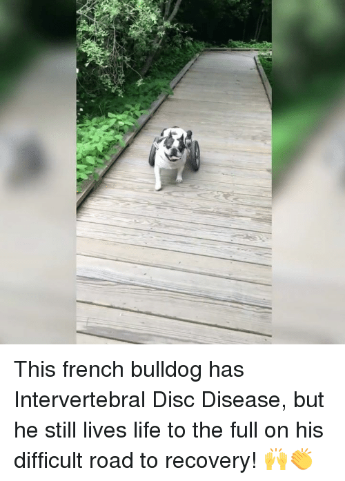 french bulldog: This french bulldog has Intervertebral Disc Disease, but he still lives life to the full on his difficult road to recovery! 🙌👏