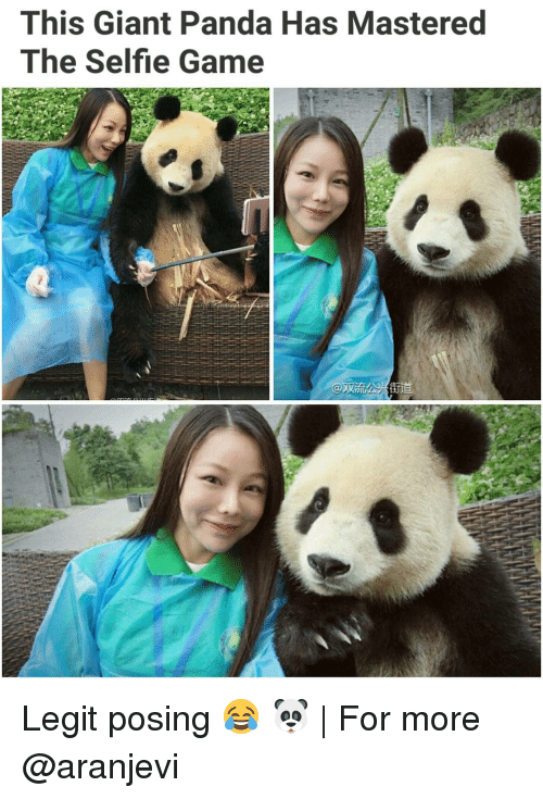 Memes, Panda, and Giant: This Giant Panda Has Mastered  The Selfie Game Legit posing 😂 🐼 | For more @aranjevi