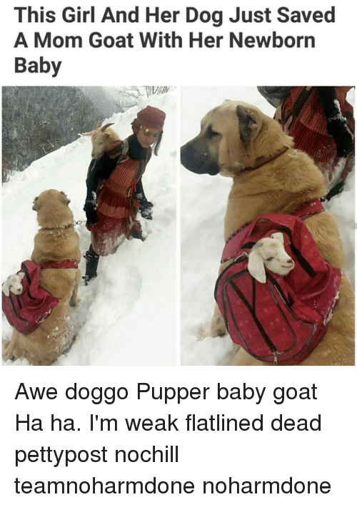Baby Goats: This Girl And Her Dog Just Saved  A Mom Goat With Her Newborn  Baby Awe doggo Pupper baby goat Ha ha. I'm weak flatlined dead pettypost nochill teamnoharmdone noharmdone