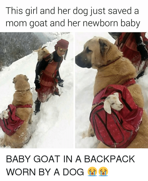 Baby Goats: This girl and her dog just saved a  mom goat and her newborn baby BABY GOAT IN A BACKPACK WORN BY A DOG 😭😭