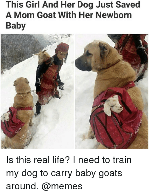 Baby Goats: This Girl And Her Dog Just Saved  A Mom Goat With Her Newborn  Baby Is this real life? I need to train my dog to carry baby goats around. @memes