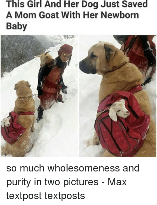 Memes, Goat, and Girl: This Girl And Her Dog Just Saved  A Mom Goat With Her Newborn  Baby so much wholesomeness and purity in two pictures - Max textpost textposts