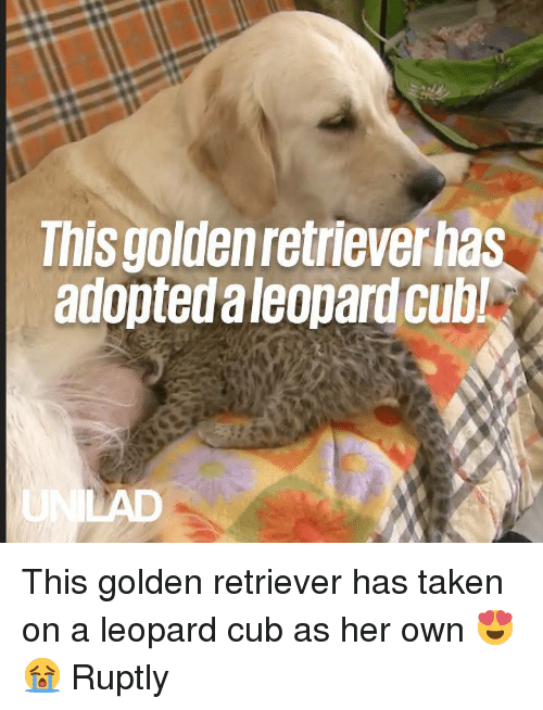 Dank, Taken, and Golden Retriever: This goldenretrieverhas  adoptedaleopard cubl This golden retriever has taken on a leopard cub as her own 😍😭  Ruptly
