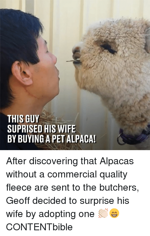 Alpaca: THIS GUY  SUPRISED HIS WIFE  BY BUYING A PET ALPACA After discovering that Alpacas without a commercial quality fleece are sent to the butchers, Geoff decided to surprise his wife by adopting one 👏🏻😁  CONTENTbible
