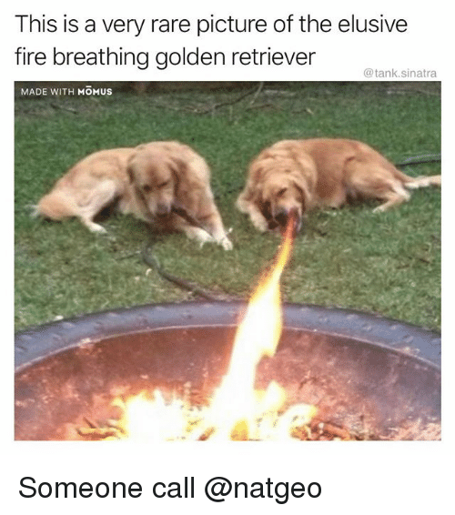 Fire, Funny, and Golden Retriever: This is a very rare picture of the elusive  fire breathing golden retriever  @tank.sinatra  MADE WITH MOMUS Someone call @natgeo