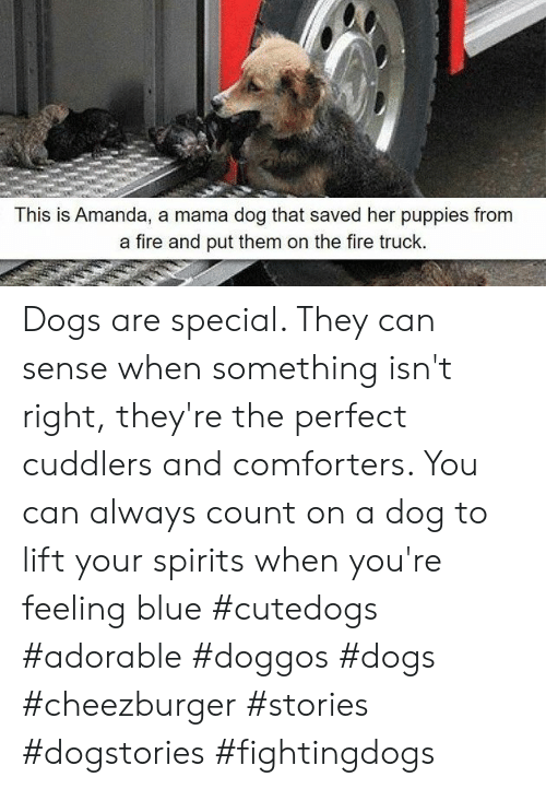 cheezburger: This is Amanda, a mama dog that saved her puppies from  a fire and put them on the fire truck. Dogs are special. They can sense when something isn't right, they're the perfect cuddlers and comforters. You can always count on a dog to lift your spirits when you're feeling blue #cutedogs #adorable #doggos #dogs #cheezburger #stories #dogstories #fightingdogs