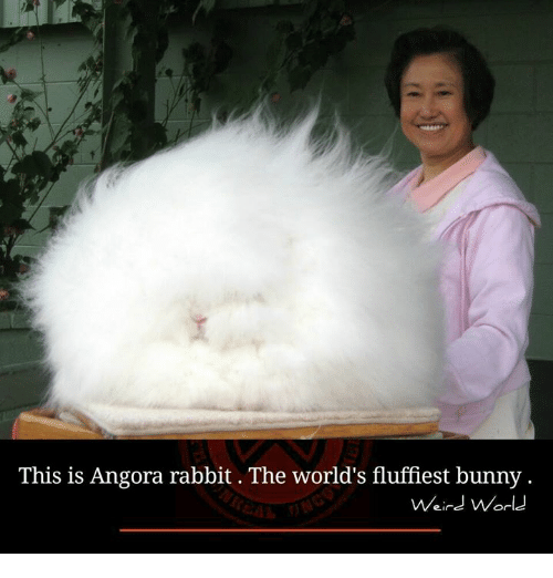 memes: This is Angora rabbit The world's fluffiest bunny.  Weird World