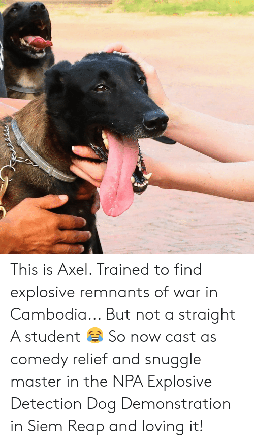 siem: This is Axel. Trained to find explosive remnants of war in Cambodia... But not a straight A student 😂 So now cast as comedy relief and snuggle master in the NPA Explosive Detection Dog Demonstration in Siem Reap and loving it!