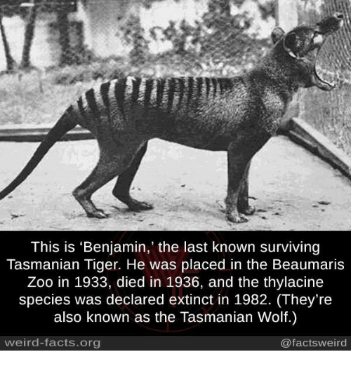 tasmanian tiger: This is 'Benjamin,' the last known surviving  Tasmanian Tiger. He was placed in the Beaumaris  Zoo in 1933, died in 1936, and the thylacine  species was declared extinct in 1982. (They're  also known as the Tasmanian Wolf.)  weird-facts.org  @facts weird