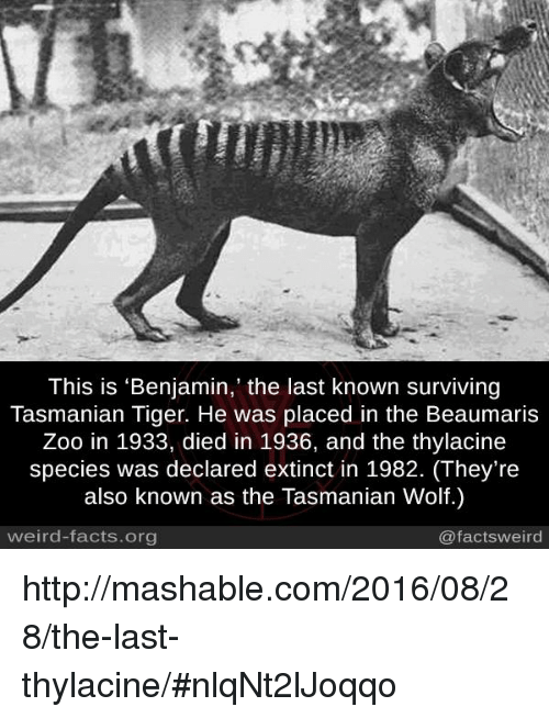 tasmanian tiger: This is 'Benjamin,' the last known surviving  Tasmanian Tiger. He was placed in the Beaumaris  Zoo in 1933, died in 1936, and the thylacine  species was declared extinct in 1982. (They're  also known as the Tasmanian Wolf.)  weird-facts.org  @facts weird http://mashable.com/2016/08/28/the-last-thylacine/#nlqNt2lJoqqo
