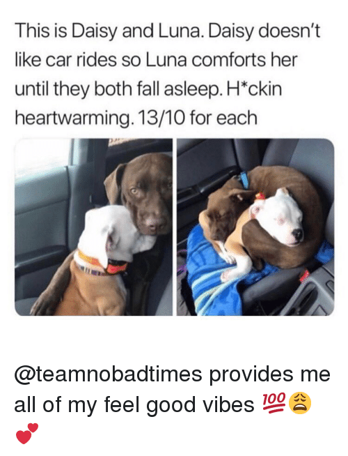 Good Vibes: This is Daisy and Luna. Daisy doesn't  like car rides so Luna comforts her  until they both fall asleep. H*ckin  heartwarming. 13/10 for each @teamnobadtimes provides me all of my feel good vibes 💯😩💕