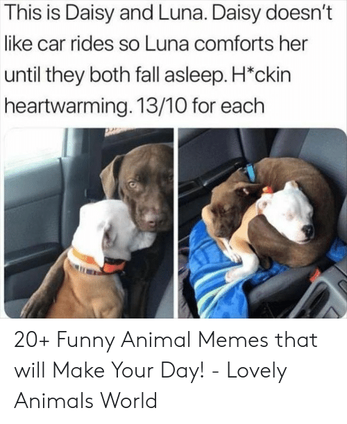 daisy: This is Daisy and Luna. Daisy doesn't  like car rides so Luna comforts her  until they both fall asleep. H*ckin  heartwarming. 13/10 for each 20+ Funny Animal Memes that will Make Your Day! - Lovely Animals World