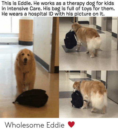 Intensive: This is Eddie. He works as a therapy dog for kids  in Intensive Care. His bag is full of toys for them.  He wears a hospital ID with his picture on it.  box Wholesome Eddie ♥️