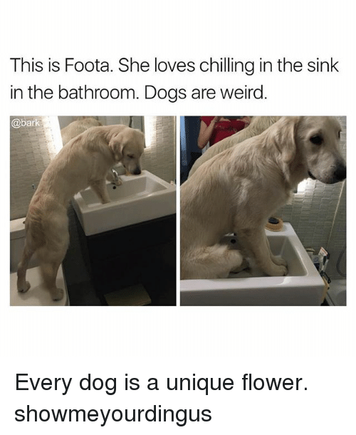 Dogs, Memes, and Weird: This is Foota. She loves chilling in the sink  in the bathroom. Dogs are weird.  @bark Every dog is a unique flower. showmeyourdingus