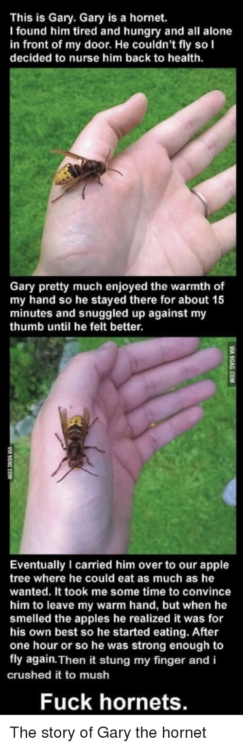 crushed: This is Gary. Gary is a hornet.  I found him tired and hungry and all alone  in front of my door. He couldn't fly so I  decided to nurse him back to health  Gary pretty much enjoyed the warmth of  my hand so he stayed there for about 15  minutes and snuggled up against my  thumb until he felt better.  2  Eventually I carried him over to our apple  tree where he could eat as much as he  wanted. It took me some time to convince  him to leave my warm hand, but when he  smelled the apples he realized it was for  his own best so he started eating. After  one hour or so he was strong enough to  fly again. Then it stung my finger and i  crushed it to mush  Fuck hornets. The story of Gary the hornet