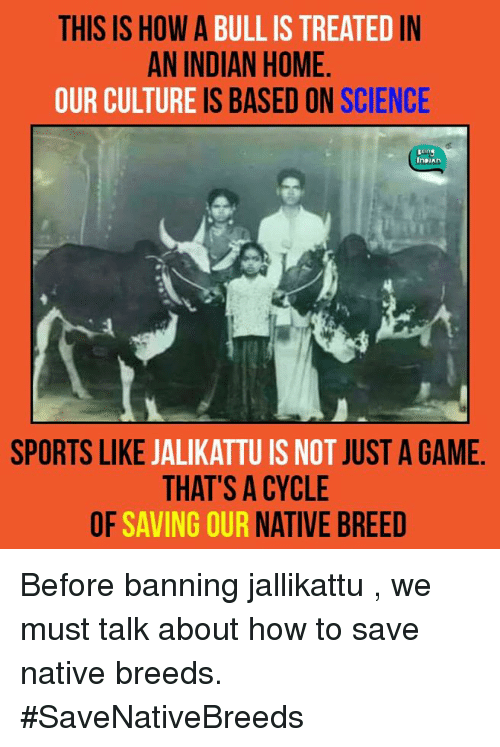 Memes, Bulls, and Cycling: THIS IS HOW A  BULL IS TREATED  IN  AN INDIAN HOME  OUR CULTURE  IS BASED ON  SCIENCE  InDIAn  SPORTS LIKE  JALIKATTUIS NOT  JUST A GAME  THAT'S A CYCLE  OF SAVING OUR  NATIVE BREED Before banning jallikattu , we must talk about how to save native breeds.  #SaveNativeBreeds