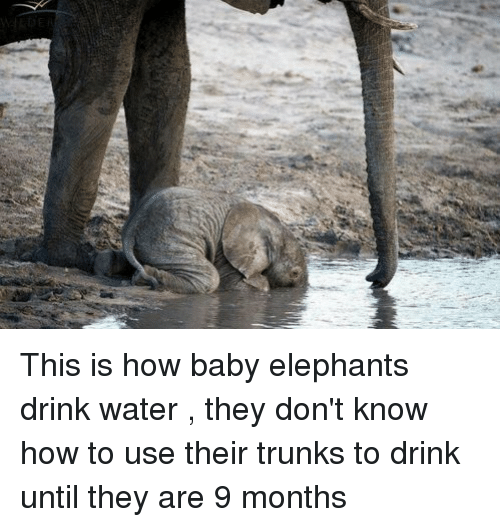 How Babies: This is how baby elephants drink water , they don't know how to use their trunks to drink until they are 9 months