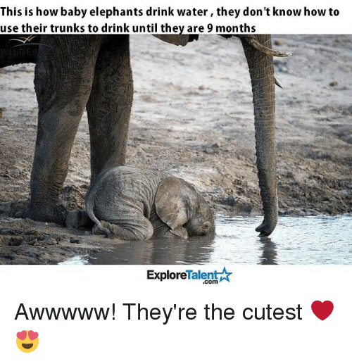Baby Elephants: This is how baby elephants drink water, they don't know how to  use their trunks to drink until they are 9 months  Talent  Ar  Explore Awwwww! They're the cutest ❤😍