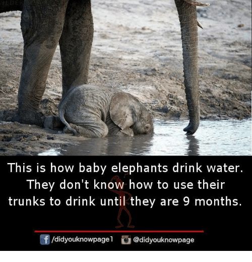 Baby Elephants: This is how baby elephants drink water.  They don't know how to use their  trunks to drink until they are 9 months.  /didyouknowpagel didyouknowpage