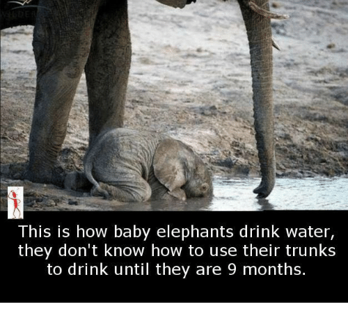 How Babies: This is how baby elephants drink water,  they don't know how to use their trunks  to drink until they are 9 months.