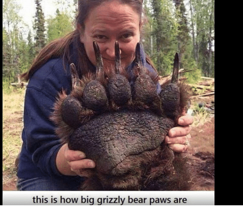 this is how big grizzly bear paws are 6887049 this is how big grizzly bear paws are meme on sizzle
