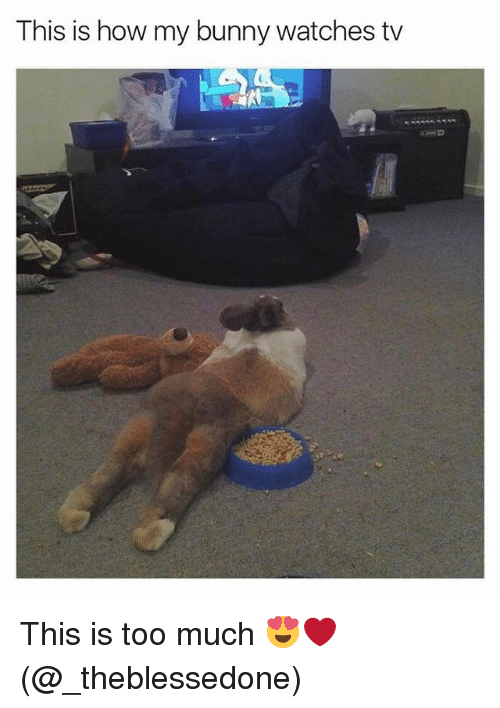 Memes, Too Much, and Watches: This is how my bunny watches tv This is too much 😍❤️ (@_theblessedone)
