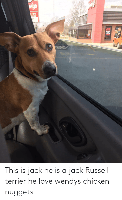 wendys: This is jack he is a jack Russell terrier he love wendys chicken nuggets