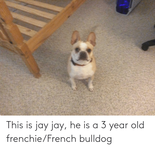 french bulldog: This is jay jay, he is a 3 year old frenchie/French bulldog