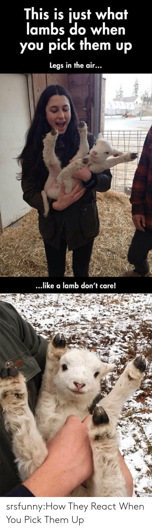 lambs: This is just what  lambs do when  you pick them up  Legs in the air...  ...ike a lamb don't care! srsfunny:How They React When You Pick Them Up