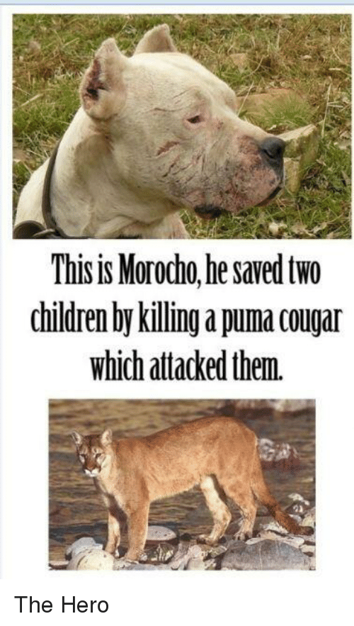 this is morodho he saved two children by killing a 11526764 🔥 25 best memes about cougar cougar memes,Cougar Memes