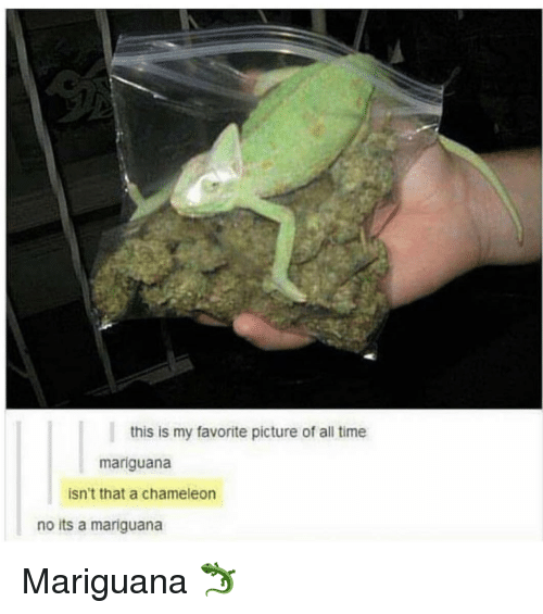 Chameleon: this is my favorite picture of all time  mariguana  isn't that a chameleon  no its a mariguana Mariguana 🦎